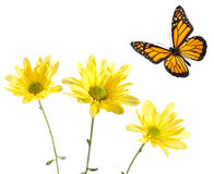 Monarch Flying over Yellow Daisies. Studio shot. Critical focus on centers of flowers and across entire butterfly royalty free stock images
