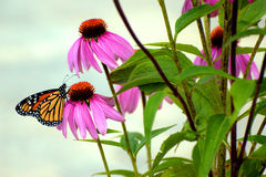 Monarch in the Garden Royalty Free Stock Photo
