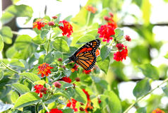 Monarch. A monarch gathering nectar from a red flower Royalty Free Stock Photography
