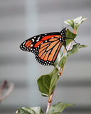 Monarch gehockt Lizenzfreie Stockfotos