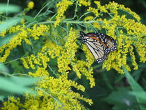 Monarch on Goldenrod Royalty Free Stock Photo
