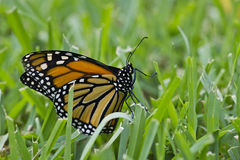 Monarch in the grass2 Royalty Free Stock Images