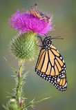 Monarch and Grasshopper Royalty Free Stock Image