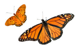 Monarch and Gulf Fritillary Butterfly Background. A beautiful Monarch and Gulf Fritillary Butterfly isolated on a white background with copy space stock photos