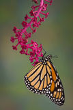 Monarch hanging from pokeweed Stock Photography