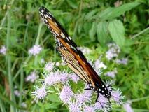 Monarch het voeden stock afbeeldingen