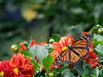 Monarch im Frühjahr Stockbild