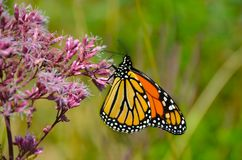 Monarch on Joe Pye Weed pink flower. It may be the most familiar North American butterfly, and is considered an iconic pollinator species. Background shades of royalty free stock images