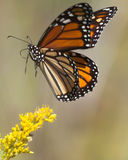 Monarch Jump. This close up of a Monarch butterfly appears to be jumping back off a yellow wildflower as it lifts off above the flower is this freeze shot Stock Images