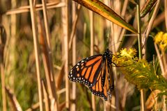 Monarch king of the butterflies`. The Monarch Butterfly is colorful and beautiful. The Monarch is called the king f the butterflies. The Butterfly goes threw royalty free stock photos