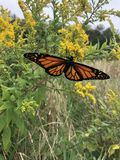 Monarch landed on Goldenrod. Monarch`s are all over in the Poconos - this one landed on my hand stock image