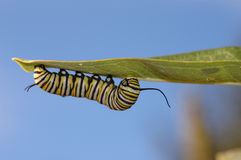 Monarch Larvae Stock Photo