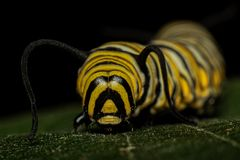 Monarch Larvae. Monarch butterfly caterpillar larvae close portrait Stock Images