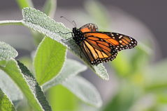 Monarch on a Leaf Stock Photography