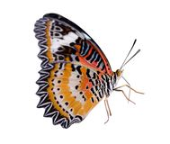 Monarch or Leopard Lacewing butterfly. Isolated on white background stock photo