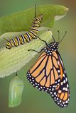 Monarch life stages. A monarch butterfly, caterpillar, and chrysalis are displayed in the same image Royalty Free Stock Images