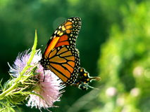 Monarch lunch Royalty Free Stock Image