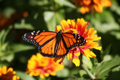 Monarch Magic. The orange and black of a monarch resting on a marigold Royalty Free Stock Images