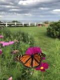 Monarch in Maine lizenzfreies stockfoto