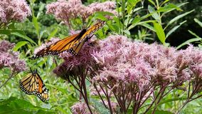 Monarch Mania. 2 beautiful monarch butterflies on pink wildflowers on a beautiful summer day in the Catskills, NY, NYS stock photo