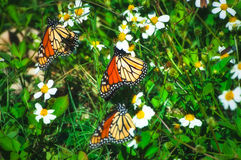 Monarch Migration Royalty Free Stock Images