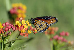 Monarch Migration Royalty Free Stock Photo