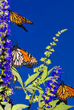 Monarch Migration. Three Monarch Butterflies on their annual fall migration to Mexico Stock Photography