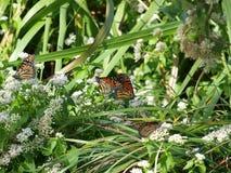 Monarch-Migration 2016 Lizenzfreie Stockfotos
