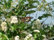 Monarch-Migration 2016 Lizenzfreie Stockfotografie