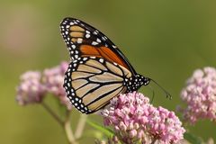 Monarch and milkweed Royalty Free Stock Photography