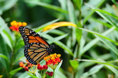 Monarch on Milkweed. Monarch Butterfly standing on milkweed in South Florida stock photo