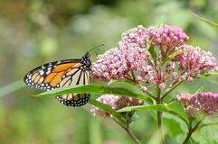 Monarch on Milkweed. A monarch butterfly, Danaus plexipuss, nectaring on milkweed blossoms Stock Photo