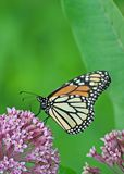 Monarch on Milkweed flower. Monarch standing on the wild Milkweed flower in Willowbrook,Illinois stock photography