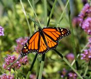 Monarch. On a flower in the summertime stock images