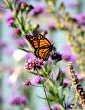 Monarch. Sipping nectar from a flower royalty free stock image