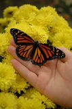 Monarch & Mums. A beautiful monarch butterfly resting on a child's hand in front of yellow fall mums Royalty Free Stock Photos