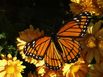 Monarch on mums. Monarch butterfly on golden mums, with space for text Royalty Free Stock Image