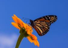 Monarch Nectaring Royalty-vrije Stock Foto's