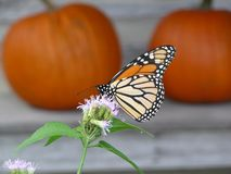 Monarch in October. Monarch butterfly feeding in front of pumpkins at the San Antonio Botanical Gardens stock image