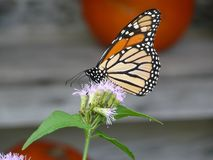 Monarch in October. Monarch butterfly feeding at San Antonio Botanical Gardens with pumpkins in the background for autumn decor stock image