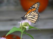 Monarch in Oktober stock afbeelding