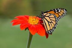 Monarch op Bloem royalty-vrije stock afbeeldingen