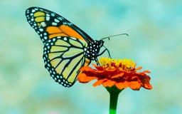 Monarch op Bloem in de Tuin stock foto