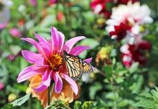 Monarch op dahliabloem stock afbeelding
