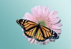 Monarch op Daisy Stock Afbeeldingen