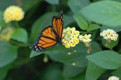 Monarch op gele bloemen royalty-vrije stock afbeeldingen