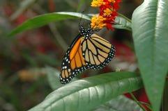 Monarch op gele en rode bloemen royalty-vrije stock afbeelding