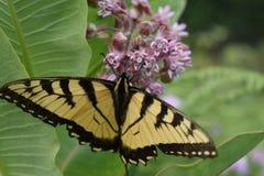 Monarch op Milkweed is geland die royalty-vrije stock fotografie