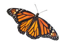 Monarch with open wings. A monarch butterfly has its wings open Stock Images