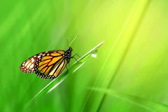 Monarch orange beautiful butterfly against the background of fantastic green  grass with a drop of dew. Summer spring artistic background. Free space for text stock photo